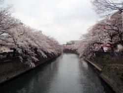 横浜の桜名所・大岡川で桜を比べてみました