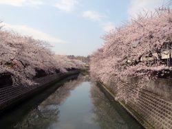大岡川の桜をカメラで撮影