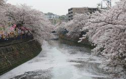 大岡川の桜が散ってきました