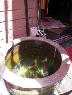 中華街で金魚を探せ