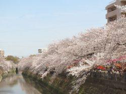 大岡川の桜を鶴巻橋から見る