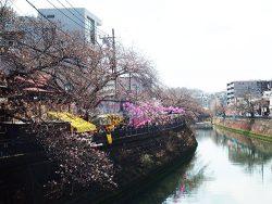 まだ三部咲きの大岡川の桜