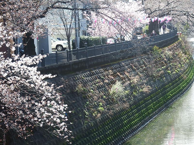 大岡川 桜まつり 桜状況