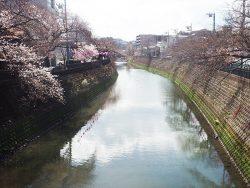 大岡川桜祭り 鶴巻橋からの眺め
