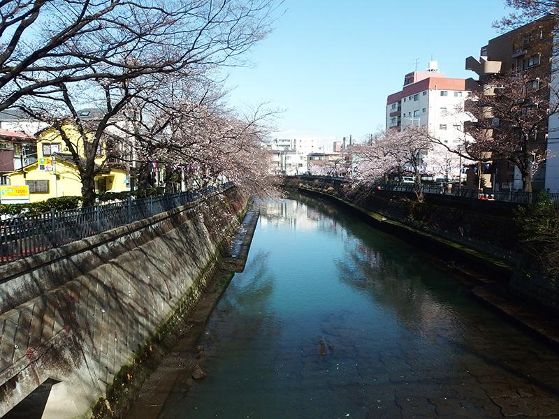 大岡川桜まつり 鶴巻橋からの桜