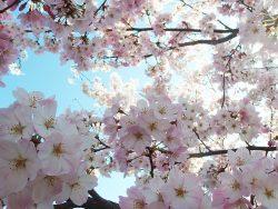 大岡川の桜祭り!桜は今が見ごろ