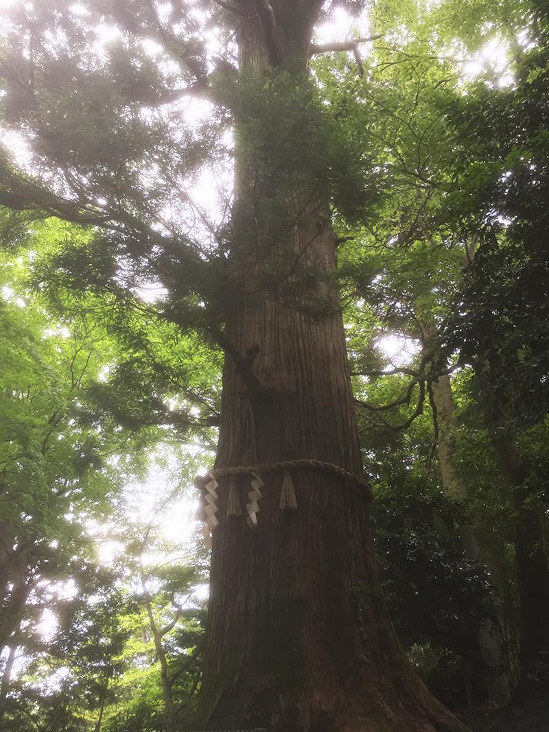 高尾山 大木