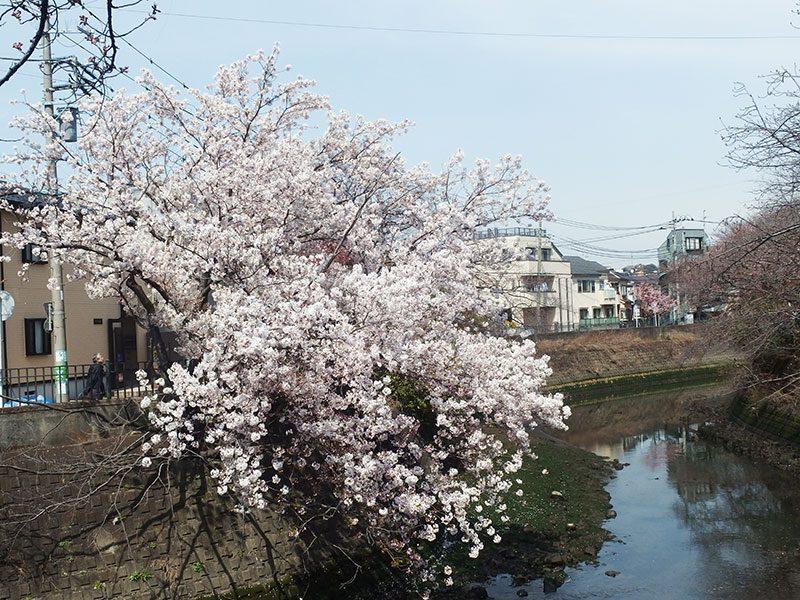 1本だけ早先の ソメイヨシノ 桜