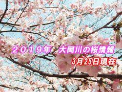 2019年 大岡川桜まつり 桜は何部咲き?