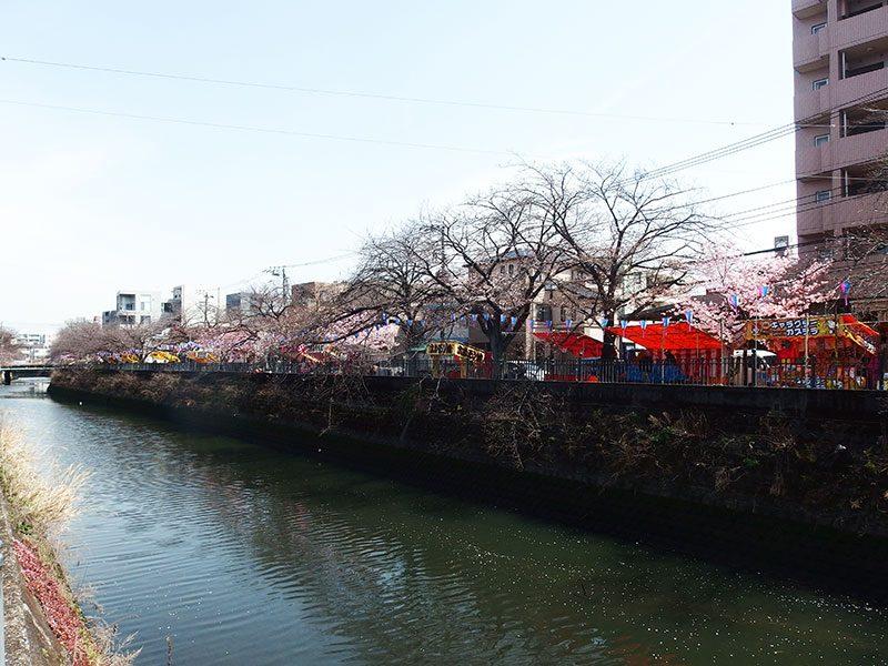大岡川 大井橋からの桜