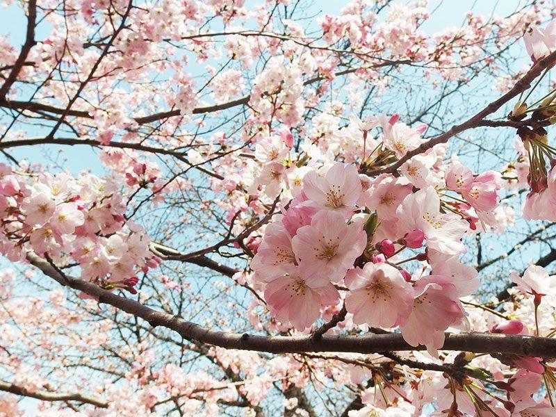 大岡川 桜まつり ジンダイアケボノ