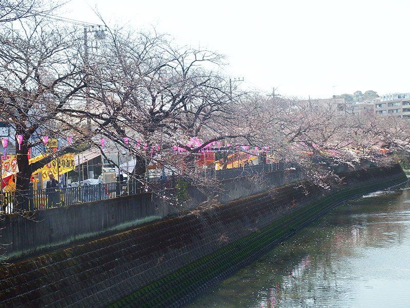 大岡川 桜まつり 鶴巻橋