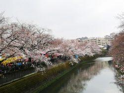 大岡川桜まつり 桜の開花状況