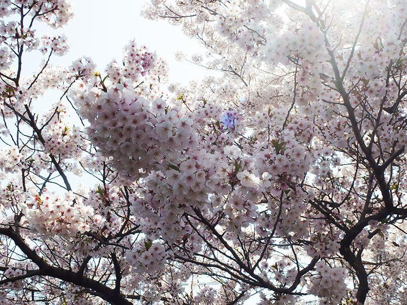 大岡川 桜まつり ソメンヨシノ
