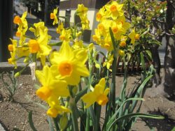 好鶴見店の花壇に咲いた水仙